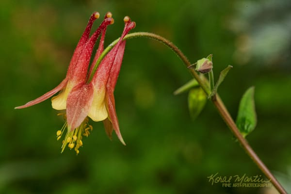 Columbine 9204  Photograph | Flower  Photography |  Koral Martin Fine Art Photography