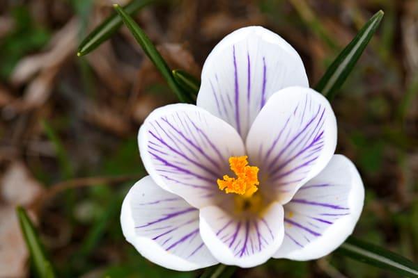 Crocus Photograph 8573 C  | Flower Photography | Koral Martin Fine Art Photography