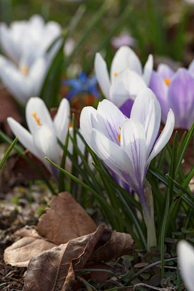 Crocus 8496 Photograph | Flower  Photography |  Koral Martin Fine Art Photography