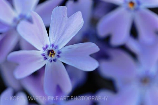 Purple Spring Photograph 0557  | Flower Photography | Koral Martin Fine Art Photography