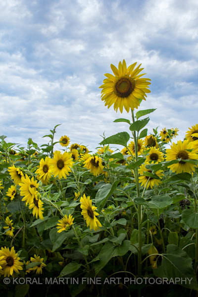 Sunflower field Photograph 6121 A  | Flower Photography | Koral Martin Fine Art Photography