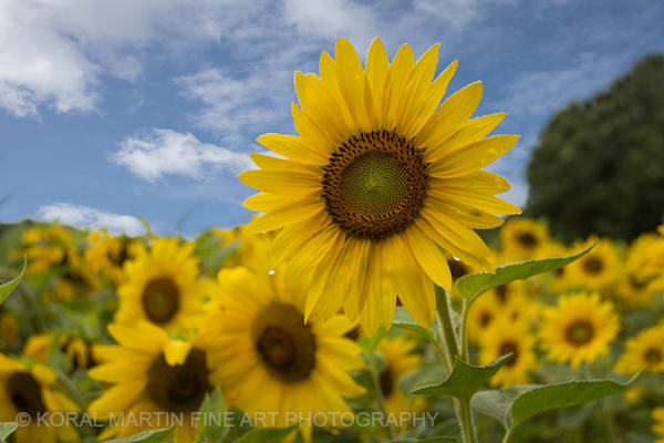 Sunflower field Blue sky Photograph 6136  | Flower Photography | Koral Martin Fine Art Photography
