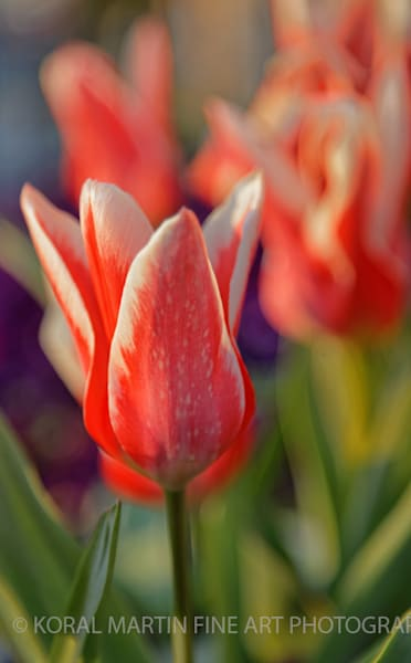 Tulip Photograph 0513  | Flower Photography | Koral Martin Fine Art Photography