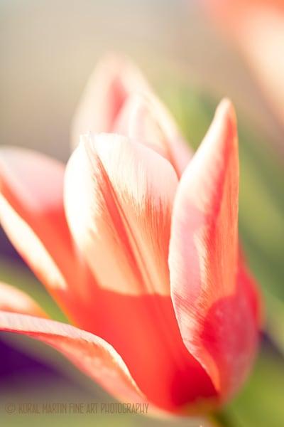 Tulips 0506 GG16 LF    Photograph   Flower  Photography    Koral Martin Fine Art Photography
