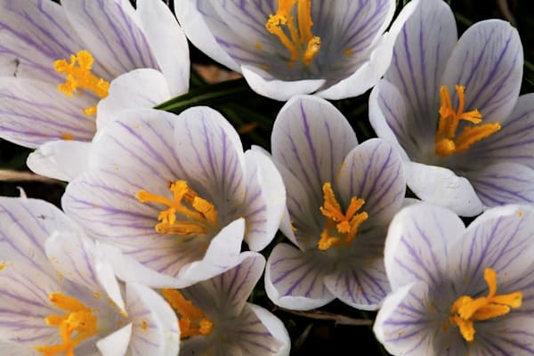 White Crocus Group    Flower Photography   Koral Martin Fine Art Photography