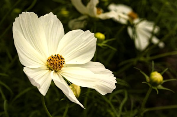 Whiteflower  4211 SBG    Photograph | Flower  Photography |  Koral Martin Fine Art Photography