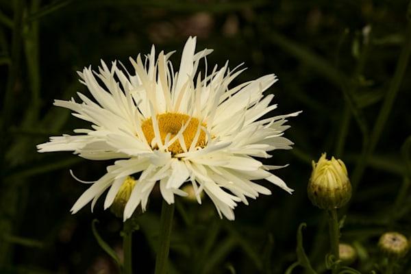White flower Photograph 4263 SBG  | Flower Photography | Koral Martin Fine Art Photography