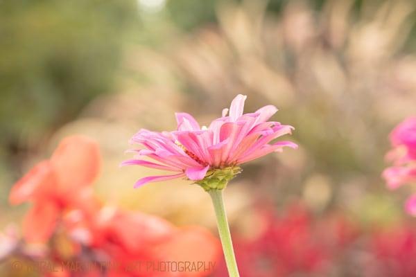 Pink Zinnia  Photograph  6050| Flower  Photography |  Koral Martin Fine Art Photography