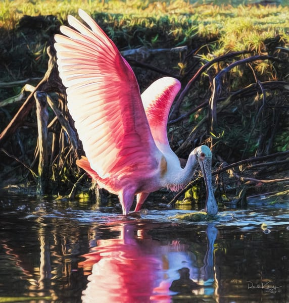 Reflections of a Spoonbill