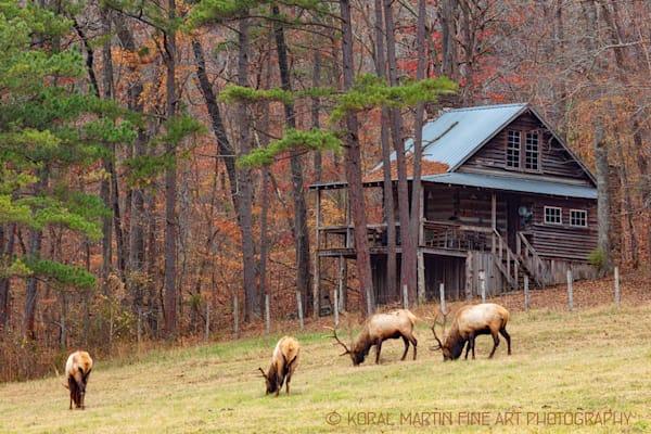 Bull Elk Cabin Boxley Photograph 0900  | Wildlife Photography | Koral Martin Fine Art Photography