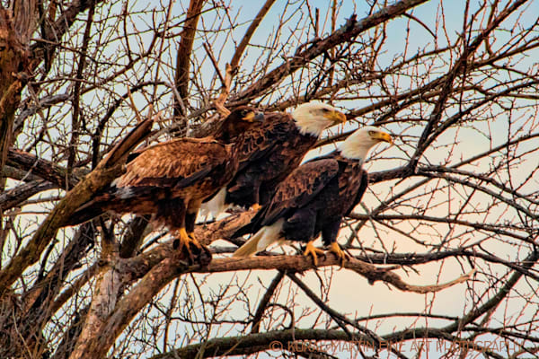 Eagles Photograph 3 in tree Photograph 6726 | Wildlife Photography | Koral Martin Fine Art Photography