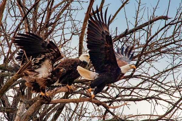 Eagles Photograph 3 in tree with one flying Photograph 6733 | Wildlife Photography | Koral Martin Fine Art Photography