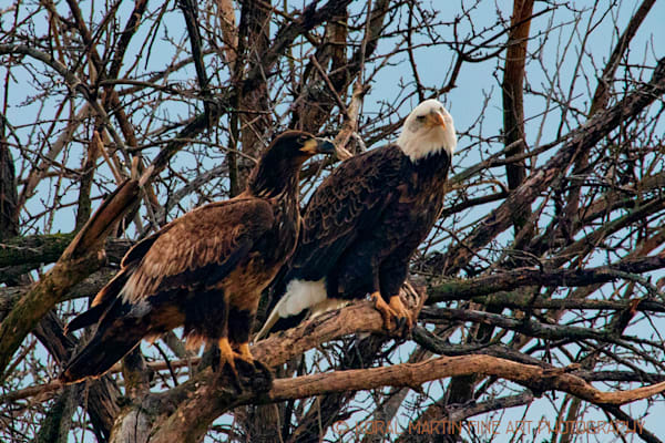 Eagles Photograph 2 in tree Photograph 741 | Wildlife Photography | Koral Martin Fine Art Photography