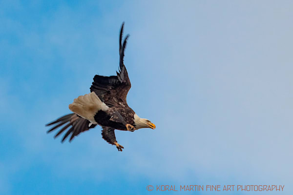 Eagles Flying Newtonia E Photograph 661 C Photograph 19 Koral Martin_t9zxij.jpg | Wildlife Photography | Koral Martin Fine Art Photography