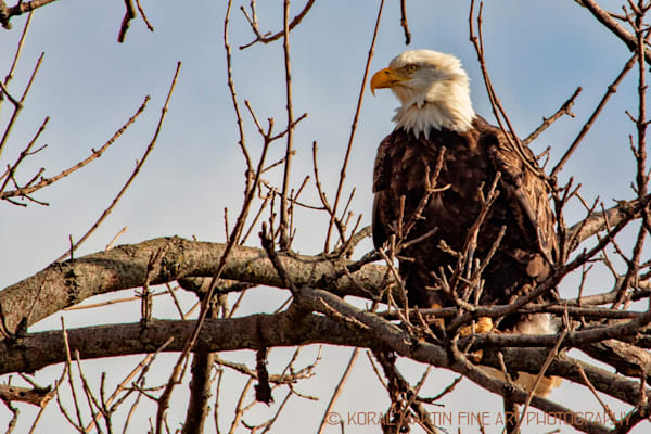 Eagles In tree Photograph 6842 | Wildlife Photography | Koral Martin Fine Art Photography