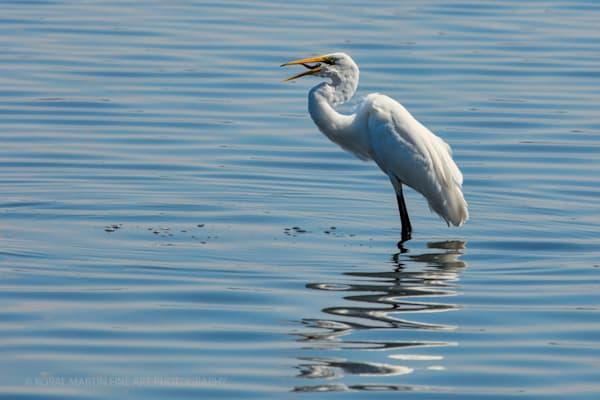 Egret Fishing Mouth0818 C  | Wildlife Photography | Koral Martin Fine Art Photography