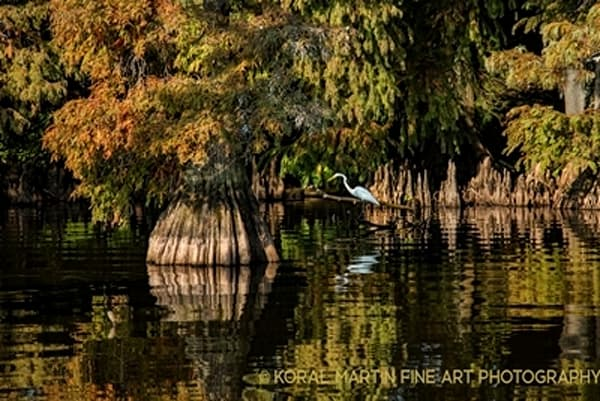 Egret Cypress9908 C Photograph 960  | Wildlife Photography | Koral Martin Fine Art Photography
