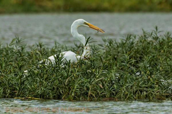 Lake Springfield | Wildlife Photography | Koral Martin Fine Art Photography