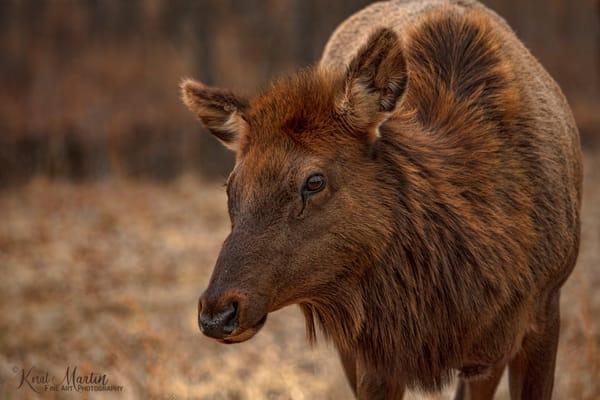 Elk 8741 LBL    Photograph | Wildlife  Photography |  Koral Martin Fine Art Photography
