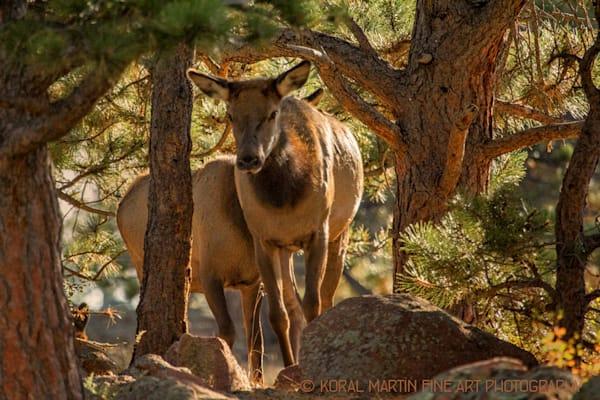 Elk Campground Photograph 1204 RMNP  | Wildlife Photography | Koral Martin Fine Art Photography