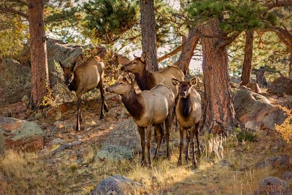 Elk Campground 1214 RMNP    Photograph | Wildlife  Photography |  Koral Martin Fine Art Photography