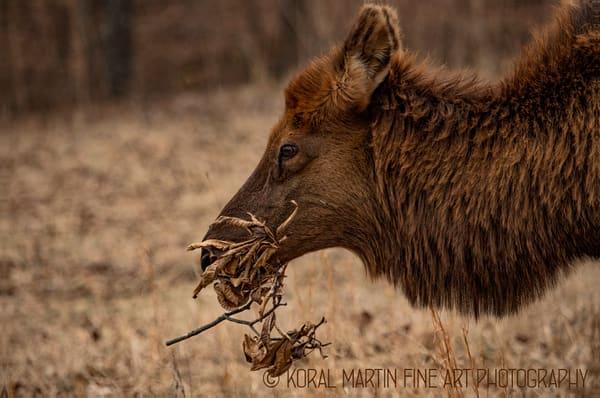 Elkeatingleaves 8747 WM    Photograph | Wildlife  Photography |  Koral Martin Fine Art Photography