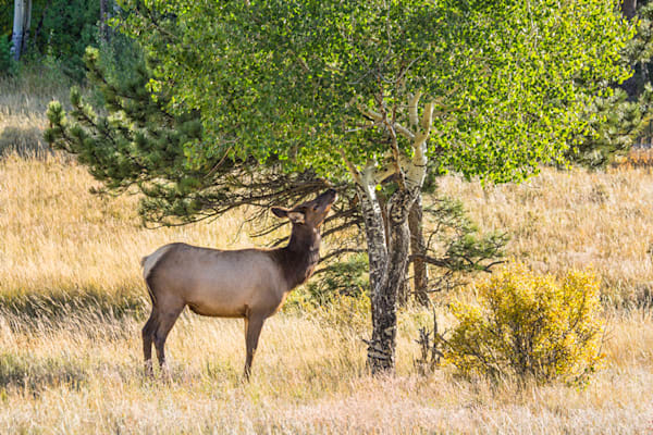 Elk Photograph at Moraine Campground Rocky Mountain National Park 2926   | Wildlife Photography | Koral Martin Fine Art Photography