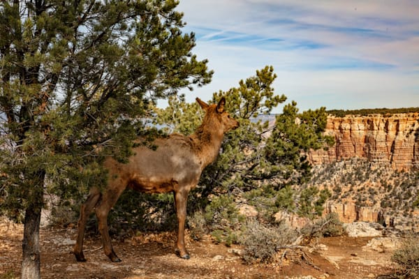 Elk photograph at Grand Canyon 3310 | Wildlife Photography | Koral Martin Fine Art Photography