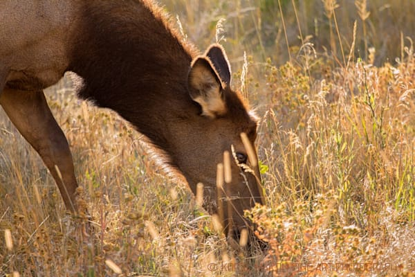 Elk grass Campground Photograph 1257  |  Rocky Mountain National Park  Photograph   | Wildlife Photography | Koral Martin Fine Art Photography