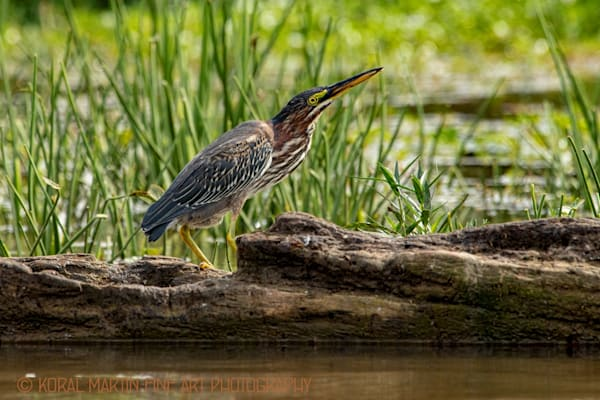 Green  Heron  5084  Photograph | Wildlife  Photography |  Koral Martin Fine Art Photography