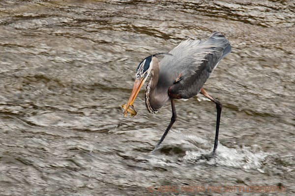 Heron Fish Photograph 4335  | Wildlife Photography | Koral Martin Fine Art Photography