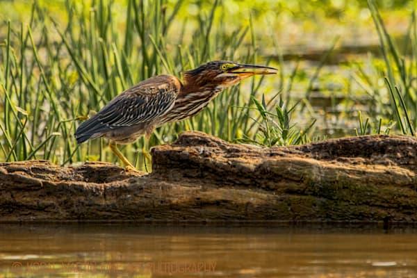 Green Heron Photograph 5083 | Wildlife Photography | Koral Martin Fine Art Photography