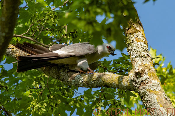 Mississippi Kite Bug Photograph 0443 Photograph 19  | Wildlife Photography | Koral Martin Fine Art Photography