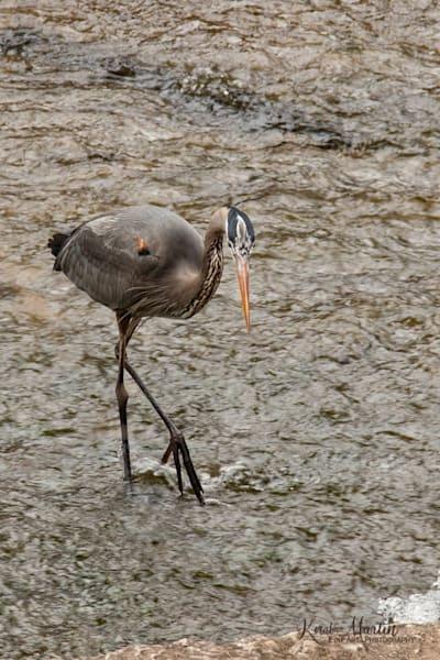 Heron Walking Photograph 4370 Tanyard Loop  | Wildlife Photography | Koral Martin Fine Art Photography