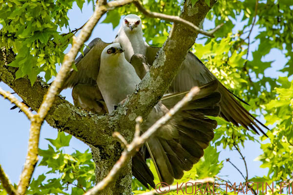 Mississippi Kites2 Photograph 0428 Photograph 19  | Wildlife Photography | Koral Martin Fine Art Photography