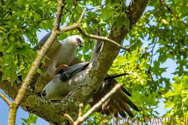 Mississippi Kites2 Photograph 0426 Photograph 19  | Wildlife Photography | Koral Martin Fine Art Photography