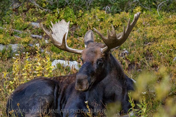 Moose Blue Lake Trail  Indian Peaks Wilderness 2108 Colorado    800    Photograph | Wildlife  Photography |  Koral Martin Fine Art Photography