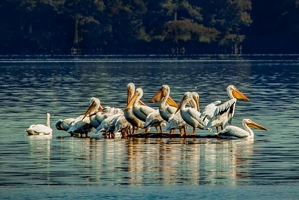 Pelicans9323 C RL T  | Wildlife Photography | Koral Martin Fine Art Photography