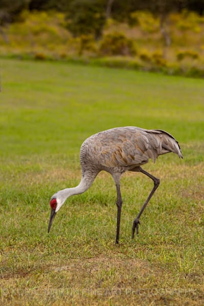 Sandhill Cranes Disney Preserve Photograph 0722  | Wildlife Photography | Koral Martin Fine Art Photography
