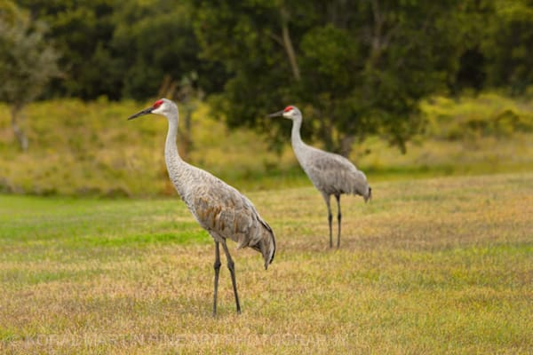 Sandhill crane Photograph 0715  | Wildlife Photography | Koral Martin Fine Art Photography