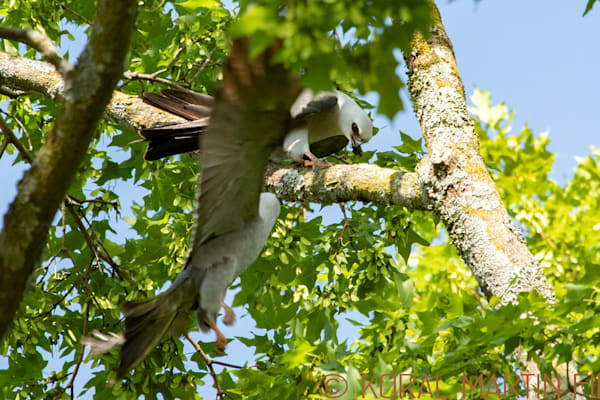 Mississippi Kites Flying Photograph 0444 Photograph 19  | Wildlife Photography | Koral Martin Fine Art Photography