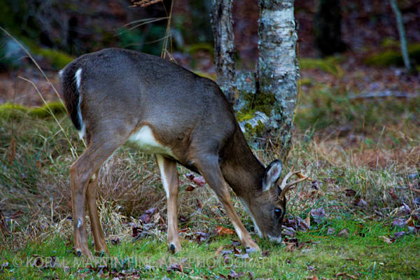 Small buck Deer Photograph 4323 BWF Photograph 1200  | Wildlife Photography | Koral Martin Fine Art Photography