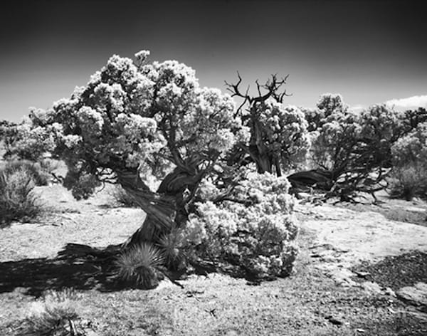Infrared Canyonlands Tree Photograph 566  | Infrared Photography | Koral Martin Fine Art Photography