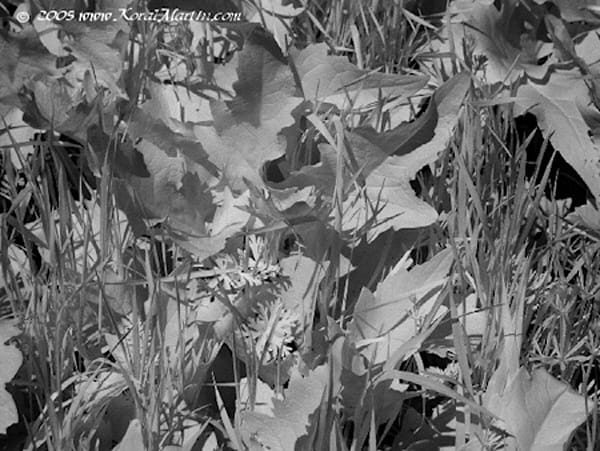 Infrared Leaves  | Infrared Photography | Koral Martin Fine Art Photography