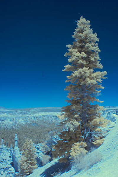 Infrared Tree Bryce Canyon Photograph 5544  | Infrared Photography | Koral Martin Fine Art Photography