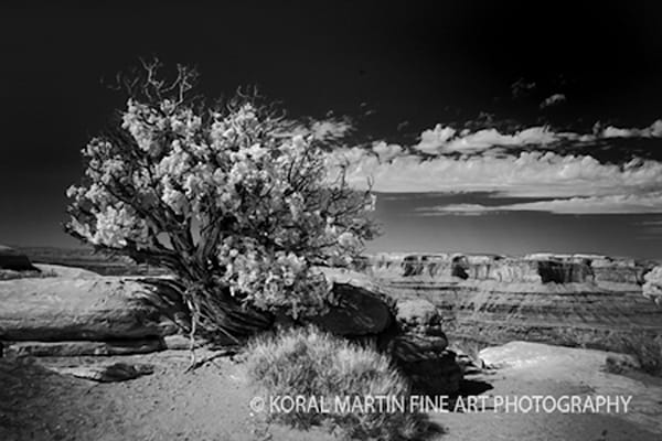 Infrared Tree Deadhorsepark5640  | Infrared Photography | Koral Martin Fine Art Photography