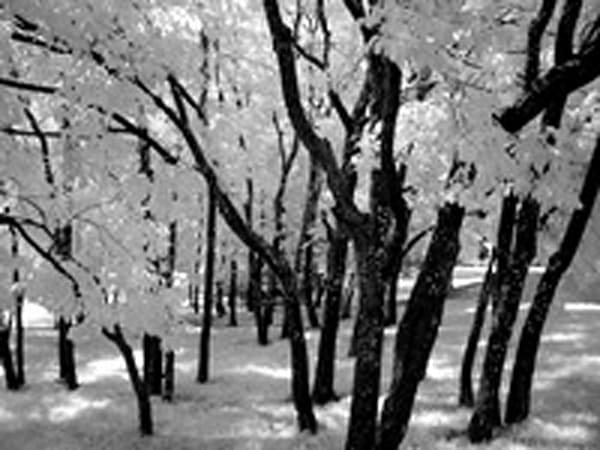 Infrared Tree Grove | Infrared Photography | Koral Martin Fine Art Photography