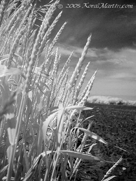 Infrared Wheat | Infrared Photography | Koral Martin Fine Art Photography