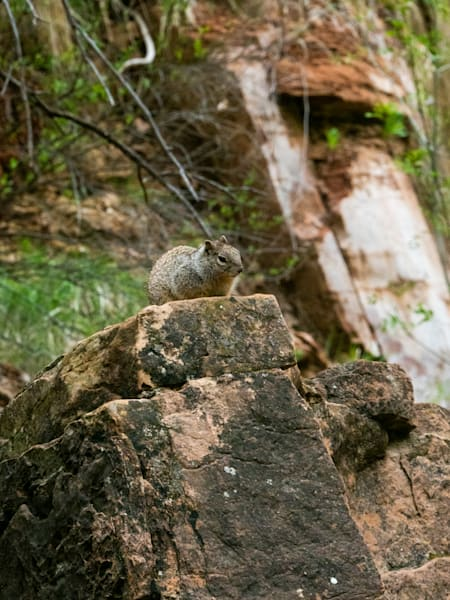 Zion Squirrel