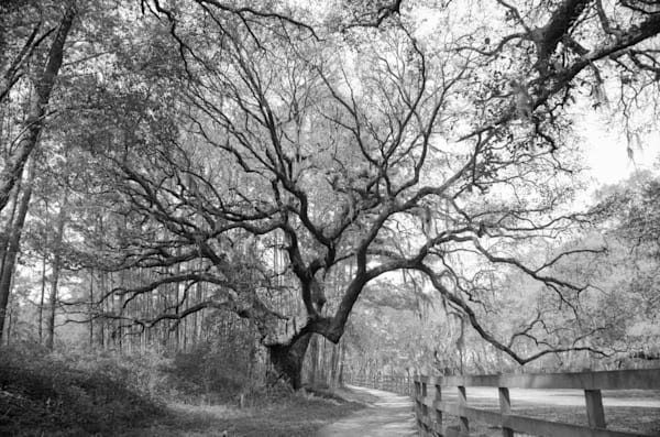 Brookgreen Gardens Live Oak I
